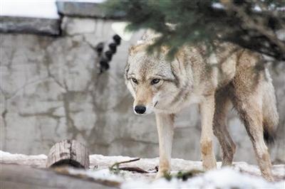 基因组分析揭示 我国南方存在狼的地方性群体