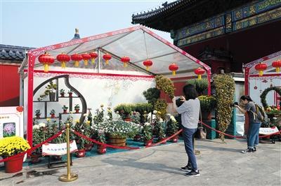 6个展区展出500余个品种 天坛公园菊花展持续至11月中旬