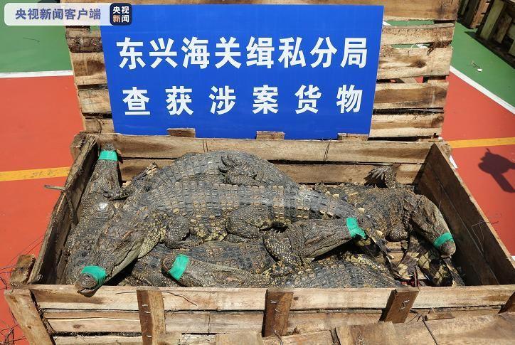 广西破获三起濒危动物走私大案 包括暹罗鳄、海马干等