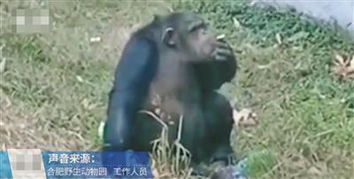 动物园黑猩猩抽烟,别拿游客素质差当托词