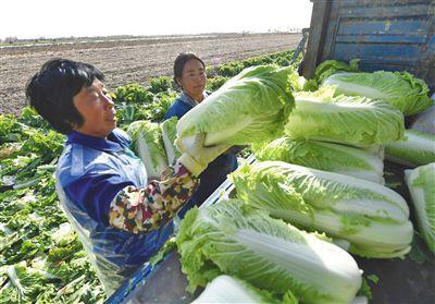 河北玉田抢收冬储大白菜 进京只需8小时左右