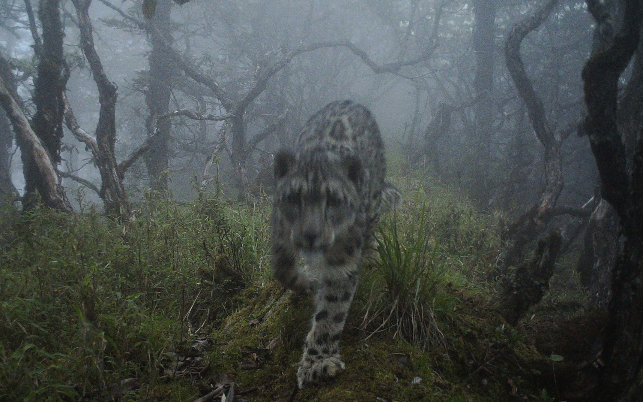 全球首次!雪豹现身四川卧龙大熊猫栖息地