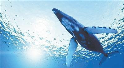 斯坦福大學科學家首次檢測藍鯨的心跳