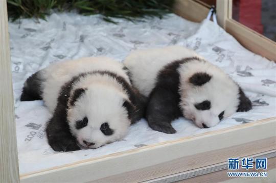 """在德国出生的大熊猫双胞胎取名""""梦想""""""""梦圆"""""""