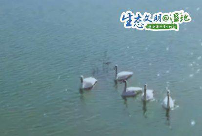陕西渭南各处湿地成为候鸟栖息乐园 群鸟翩然起舞