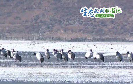 香格里拉纳帕海自然保护区冬季观鸟正当时