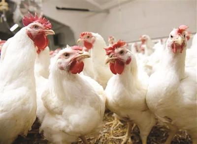 冰鲜的鸡不如现宰活鸡好吃?