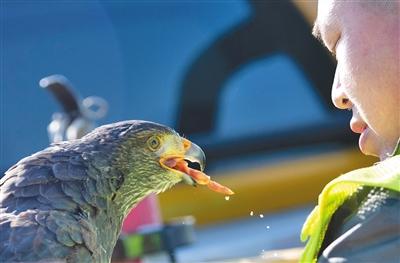 为飞机保驾护航 首都机场在国内率先使用鹰隼驱鸟