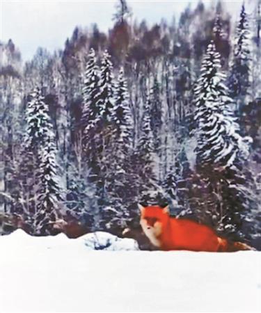 红狐现身大兴安岭引热议 专家:人养后放生可能性较大