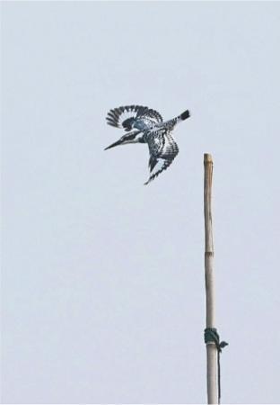"""它是鸟类中的""""俯冲轰炸机""""  喜欢高速扎进水中啄鱼吃"""