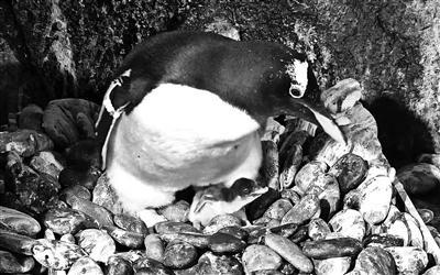 西南内陆首次孵化两只巴布亚企鹅 性别需到3岁时确认