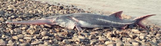 2020年开年之初坏消息:长江食物链顶端的一个物种灭绝了