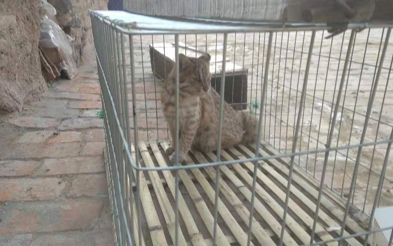 """家里10只鸡被""""团灭""""农民自制陷阱误捕罕见豹猫"""