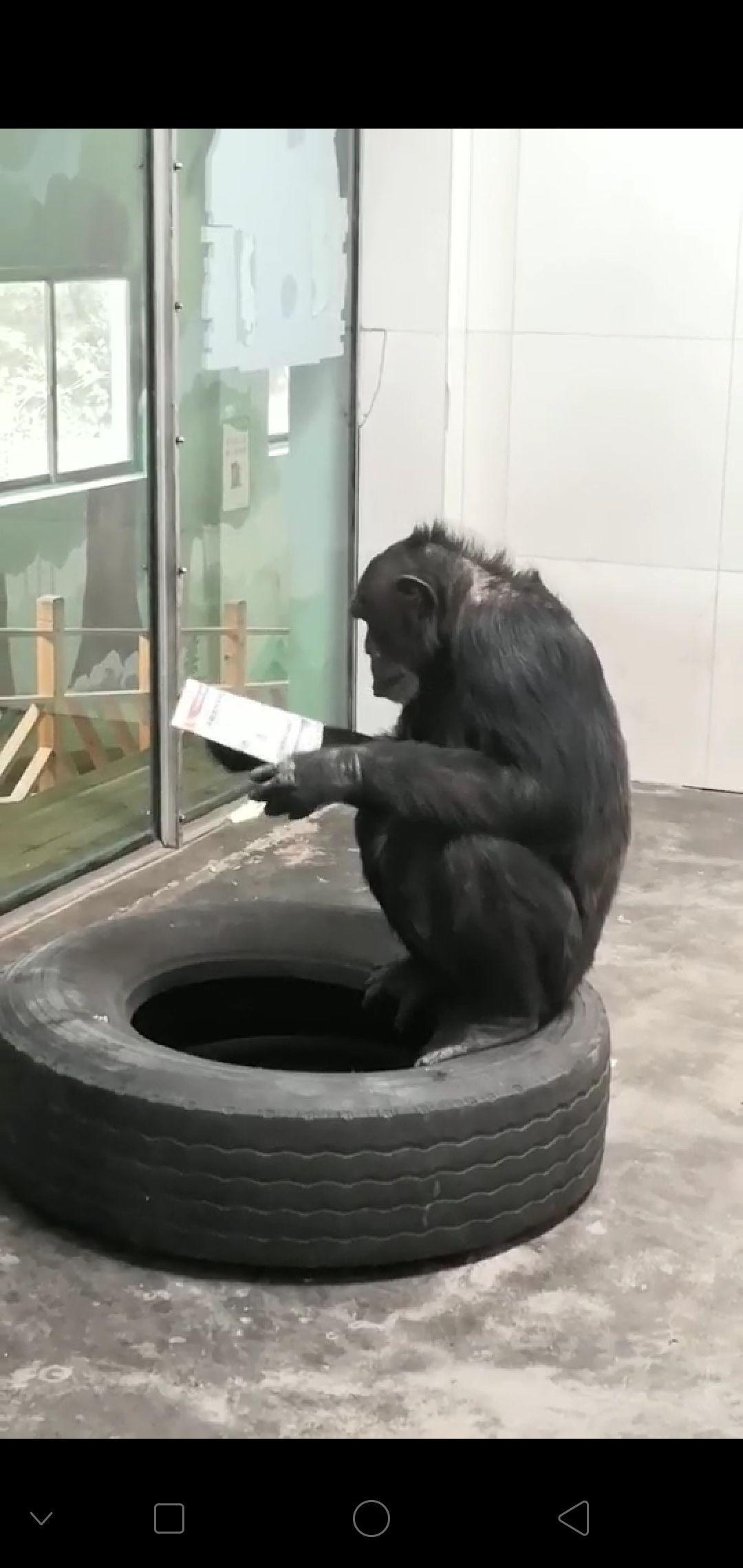 """黑猩猩看报被称""""动物界学霸"""" 饲养员:或对图案好奇"""