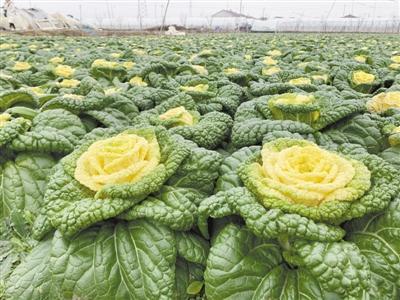 """科技助力减氮增效 网红""""玫瑰白菜""""品质升级"""