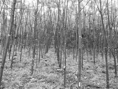 """研究人员打破传统观点:物种""""非随机""""灭绝时 森林产材量将大幅减少"""