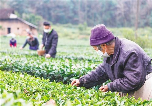 """恒行娱乐:湖北长阳县:今年采春茶""""特事特办"""""""
