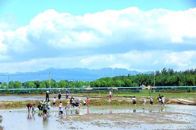 1300亩京西稻开始机械化插秧