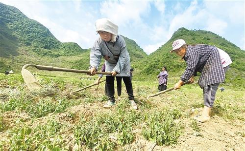 广西百色市隆林各族自治县——种桑养蚕稳增收