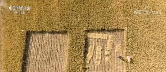 新疆塔克拉玛干沙漠300亩海水稻再获丰收 亩产超千斤