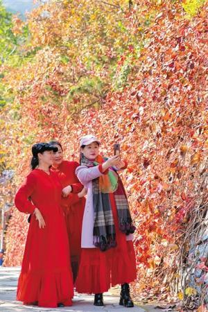 北京香山红叶观赏期开始 预计有6天高峰日