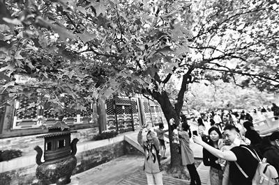 三万人香山赏红迎首个游览高峰