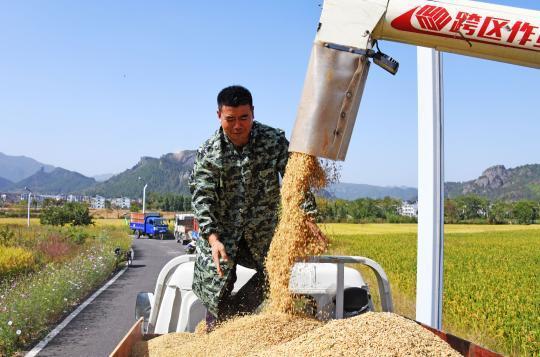 晚稻收割忙