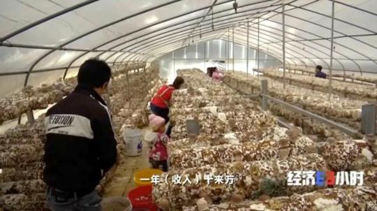 小小蘑菇拉动144亿元产值!曾经的贫困户,如今年入十几万元