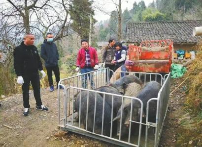 曾向武汉捐出20头猪的唐大姐 她家上百头年猪急寻买主