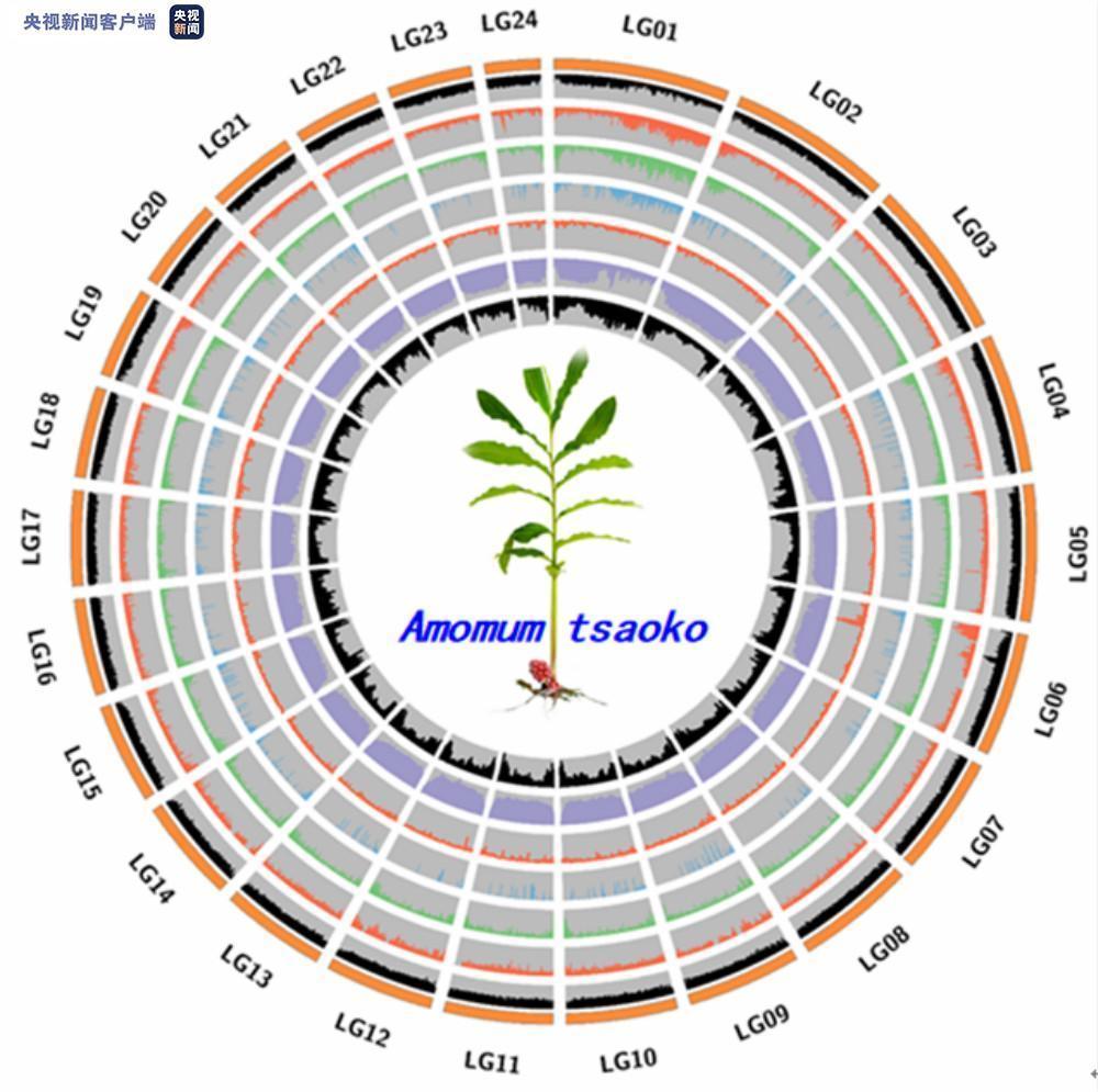 历时15个月 云南怒江草果全基因组精细图谱绘制成功