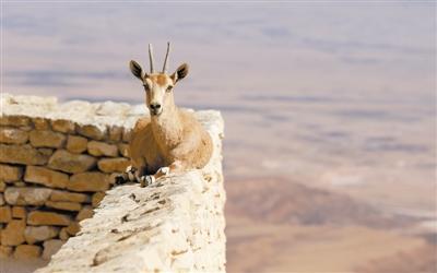动物:努比亚山羊