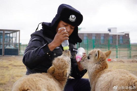 可可西里300多只藏羚羊重回自然