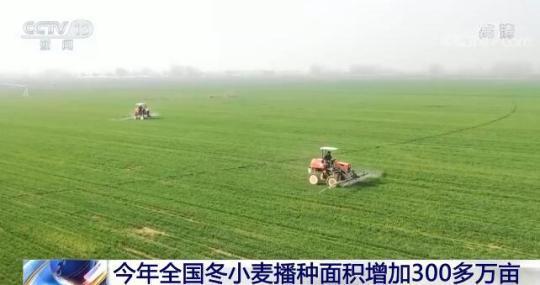 今年全国冬小麦面积恢复增长播种面积增加300多万亩
