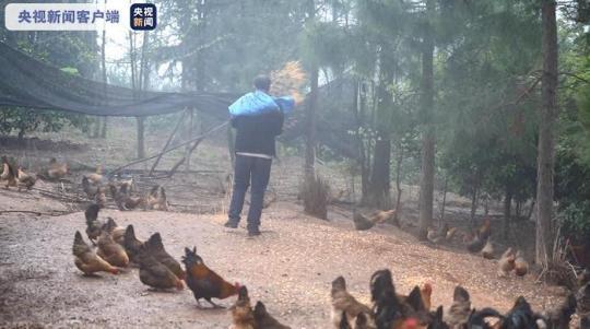 """身残志坚的他让土鸡""""飞""""上大树 让村民实现致富"""