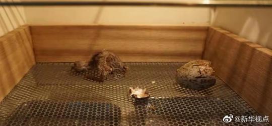 陕西朱鹮保护区:今年首只人工孵化朱鹮出壳