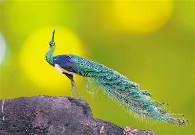 绿孔雀种群急剧衰退 人类干扰是主因