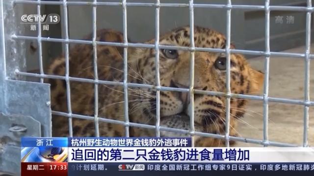 杭州野生动物世界追回的第二只金钱豹有外伤 食量增加
