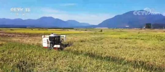 丰收中国   云南德宏:遮放贡米迎来丰收季 一田多种助农增收