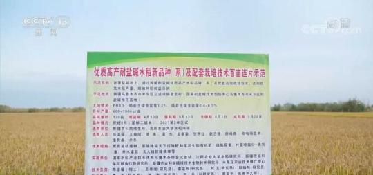 落实国家粮食战略 新疆优质高产耐盐碱水稻单产创新高