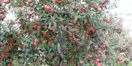 【乡村振兴看一线】四川盐源:42万亩苹果喜获丰收
