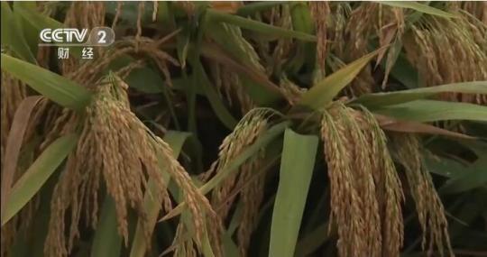 湖南衡南:第三代杂交水稻双季亩产再创世界纪录