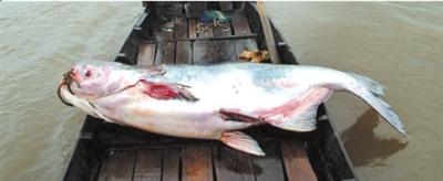 新疆喀纳斯湖疑现水怪 专家称系大鱼捕小鱼画面