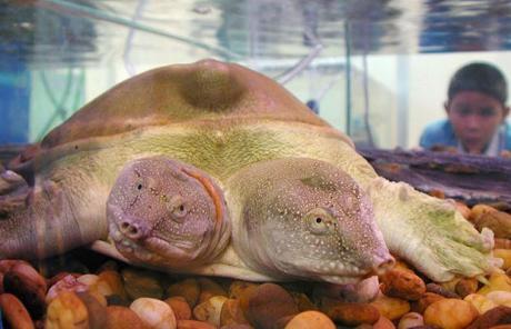 十大奇异动物:双头猪 连体鳄