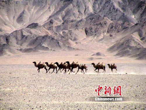 图为甘肃境内的野生动物野骆驼.甘肃省野生动植物管理局供图