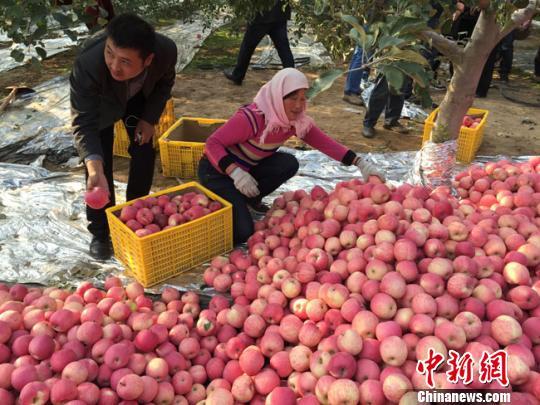 """平凉金果博览会启幕经济学家马光远""""代言""""家乡苹果"""