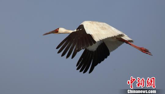 全球70%白鹤到法库獾子洞湿地停歇