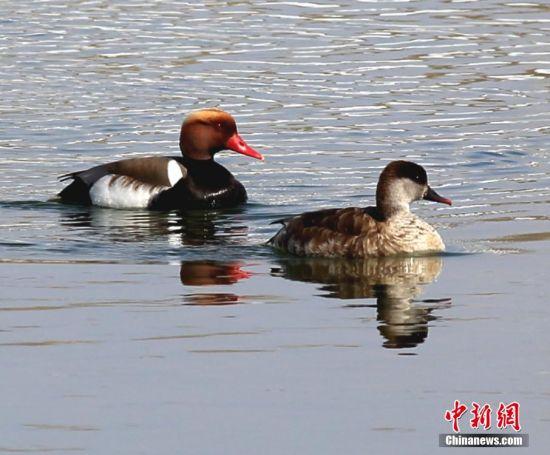 额尔齐斯河生态改善 吸引大批候鸟到此歇脚