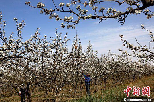 甘肃河西走廊四月千亩梨花盛开如雪