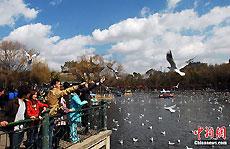 大年初一,许多昆明市民早早就来到翠湖边给海鸥喂食,与海鸥一起欢度春节。图为昆明市民正在喂鸥。