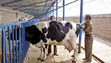 扶植奶农投入